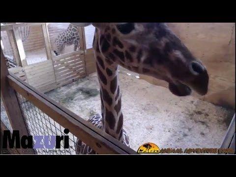 OFFICIAL: Animal Adventure Park Giraffe Cam - - APRIL THE GIRAFFE GIVING...