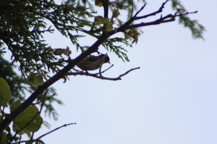 Pássaro em Espinho