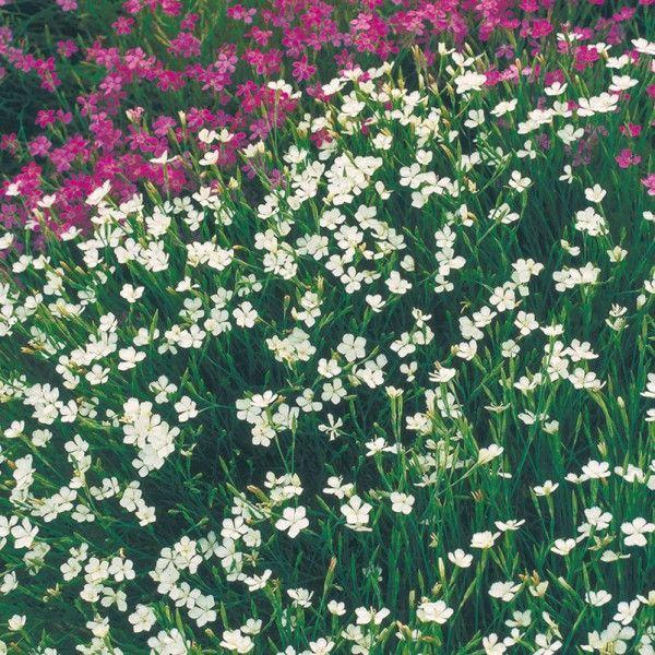 Heidenelke 'Albus' weiß, 9 cm Topf  Die absolute Bereicherung für jeden Garten erfreut mit polsterbildendem Wuchs und einer traumhaft langen Blütezeit.