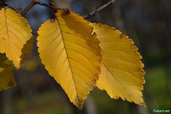 Жёлтые листья вблизи