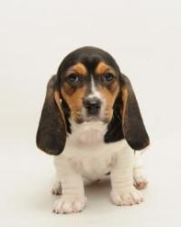 Velvet is an adoptable Basset Hound Dog in Santa Cruz, CA. Velvet is 2 months old. The Santa Cruz SPCA's adoption package for dogs and cats includes spay/neuter, vaccinations, microchip/registration, ...