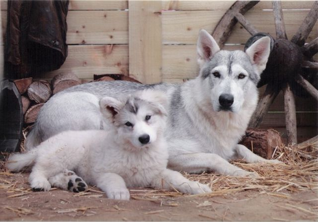 The Northern Inuit dog breed is GORGEOUS. <3 This is the breed used in HBO's Game of Thrones as direwolves. The Northern Inuit is a mix of Siberian Husky, Alaskan Malamute, and German Shepherd. I love how wolf-like they are in appearance.