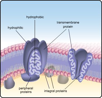 Plasma membrane with parts labeled, hydrophilic, hydrophobic, transmembrane protein, integral proteins, peripheral proteins