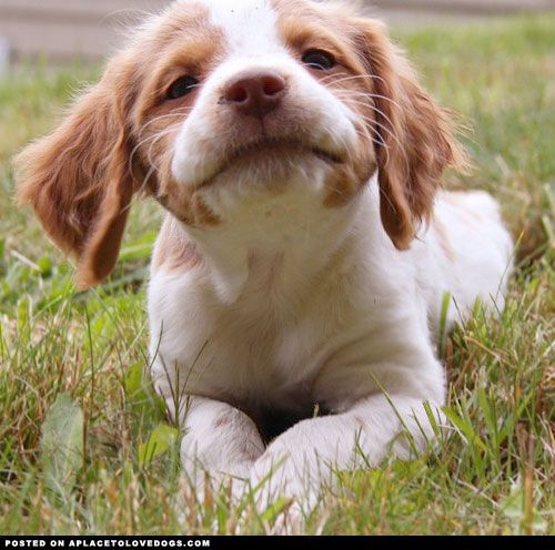 Brittany Spaniel CC - A Place to Love Dogs