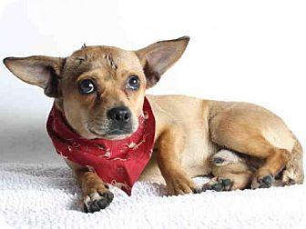 URGENT! KILL SHELTER!  Chihuahua Dog for adoption in San Pedro, California - RORY