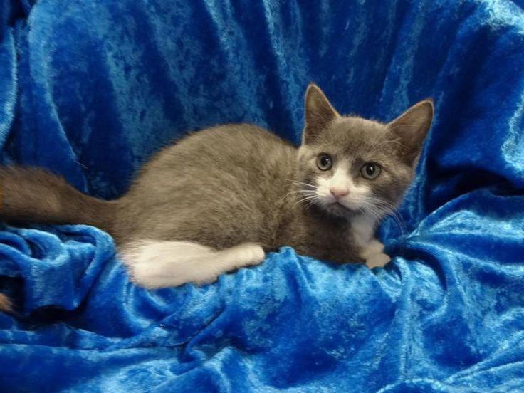 Meet James, a Petfinder adoptable Russian Blue Cat