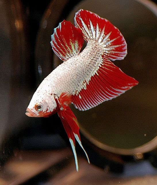 Red Dragon Plakat Betta Bettas Pinterest