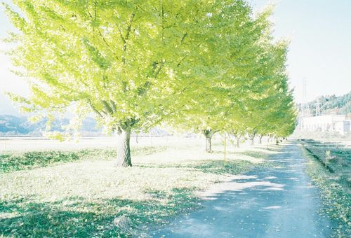 hachimitsu: いちょう並木のセレナーデ (by 110933)