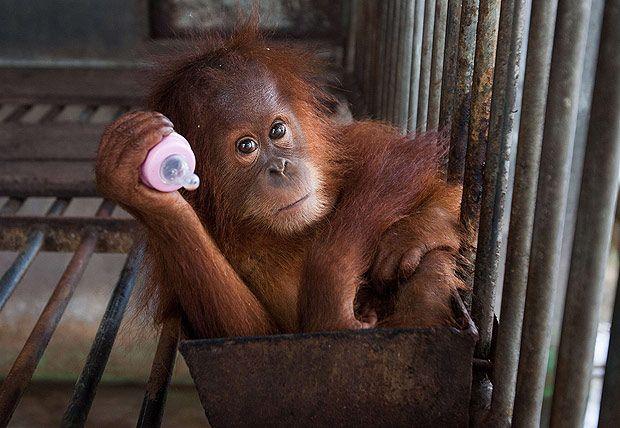 Orangotango de dois anos, após ser resgatado, em Banda Aceh (Indonésia). Os orangotango estão diminuindo rapidamente devido à caça e à destruição rápida de seu habitat natural. *** This picture shows a two-year old orangutan seized from a residents house at the provincial Nature Conservation and Agency (BKSDSA) office in Banda Aceh on September 16, 2014. The critically-endangered primates population are dwindling rapidly due to poaching and rapid destruction of their forest habitat that is…