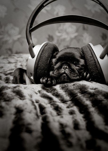 black pug and music