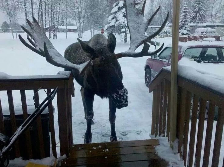 547 best moose images on pinterest animals wild animals and moose would love to see this irl sciox Image collections