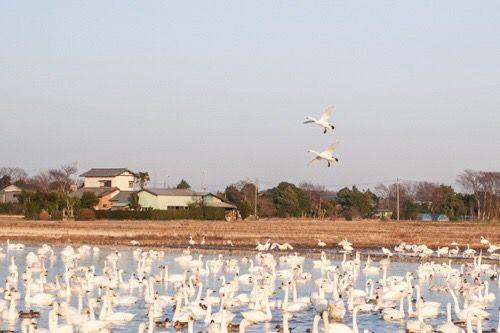 白鳥(ハクチョウ)観てきました(^◇^) 場所は千葉県印西市の本埜というところ。