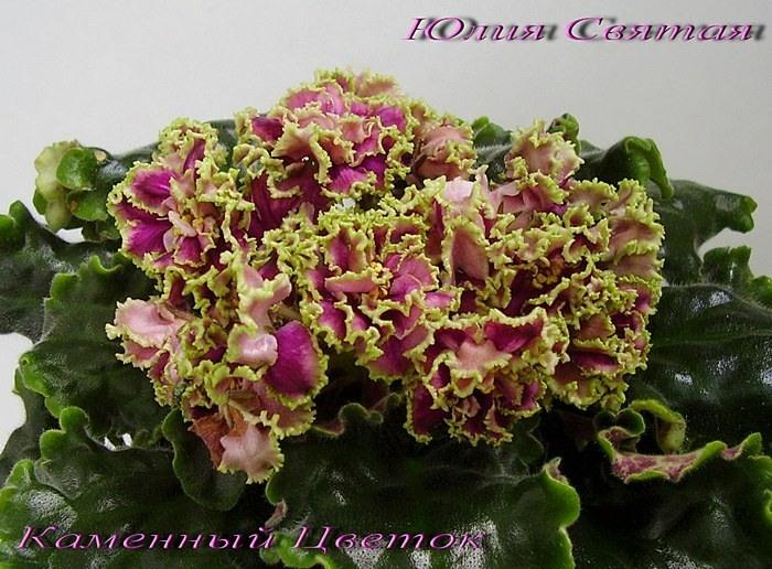 Каменный Цветок    Селекционер: Морев К.  Размер: Стандарт  Цветок: Малиново-фиолетовые звёзды среднего размера, или даже мелкие, полумахровые – махровые, розетка стандартная, очень симметричная.  Розетка: Лист темно-зеленый, стеганый.