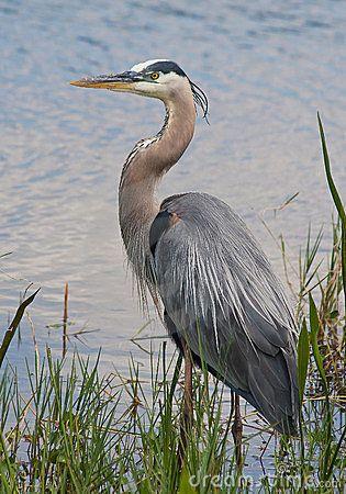 Great Blue Heron Stock Photo - Image: 52631644