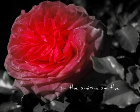 bright pink rose fading to black fine art nature by boots2183, $8.00