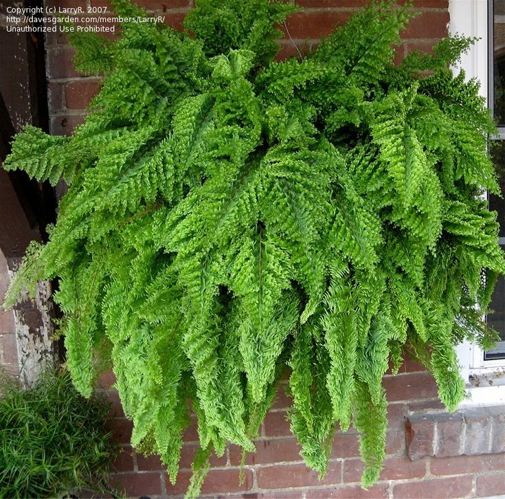 Roosevelt Fern 'Fluffy Ruffles Upright' (Nephrolepis exaltata) ~ a cousin of the Boston fern, sometimes called the fern with the perm due to the curly fronds