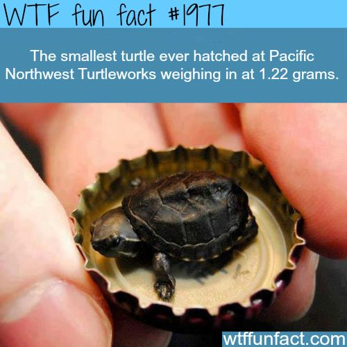 The Smallest Turtle ever hatched - WTF fun facts.   Holy shit I want one!!!