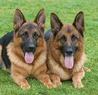 Resultado de imagen para schöne deutsche schäferhunde