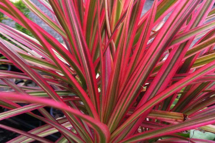 Dracaena marginata colorama dracena