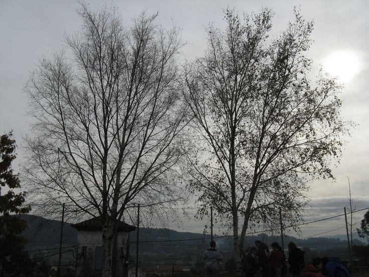 Bidueiros no patio do colexio.