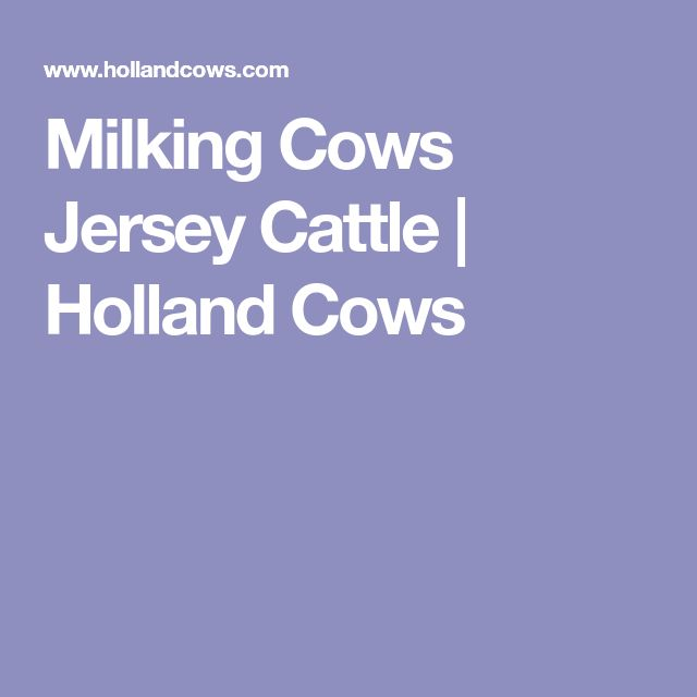 Milking Cows Jersey Cattle | Holland Cows