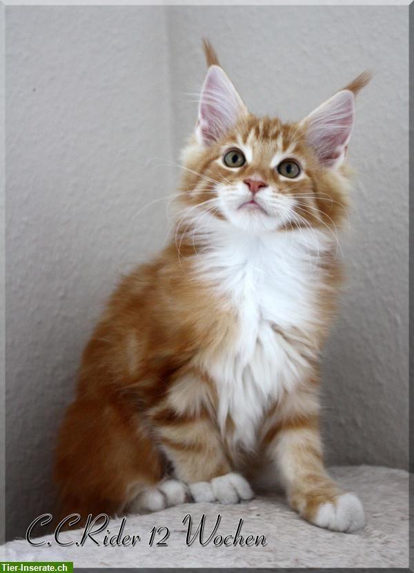 maine coons   Weitere Maine Coon Katzen, Kitten Kleinanzeigen Deutschland