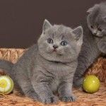 Britanska kratkodlaka mačka – mali slatki plišani meda