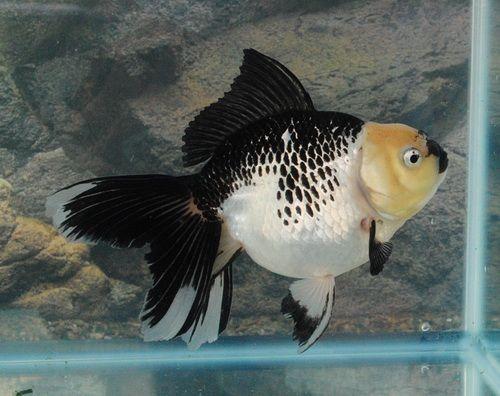 Les 1327 meilleures images du tableau gold fish sur for Mini poisson aquarium