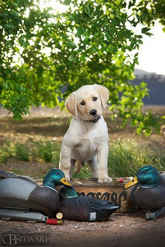 Yellow Labrador puppy -with Duck Decoys www.superstarpetservices.com