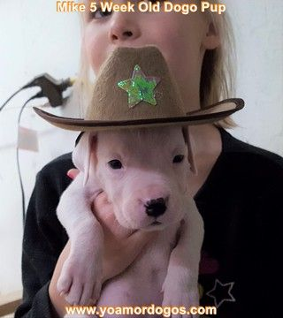 Litter of 9 Dogo Argentino puppies for sale in PINEVILLE, MO. ADN-62807 on PuppyFinder.com Gender: Male. Age: 6 Weeks Old
