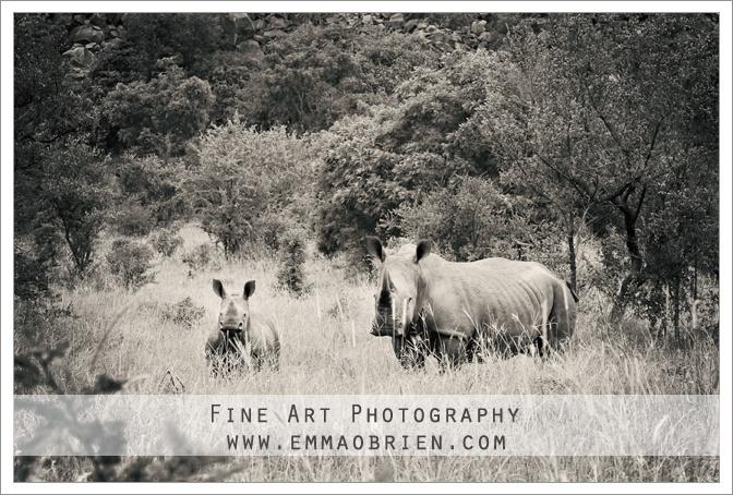 Rhinos  http://emmaobrien.com