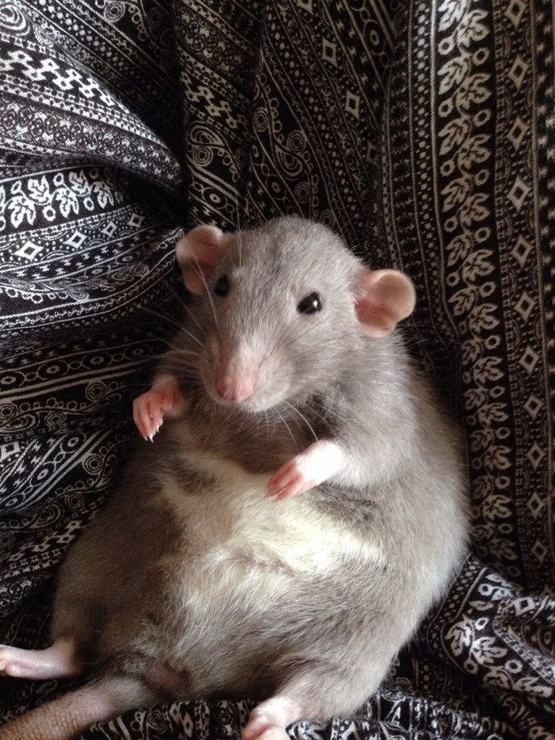 They have remarkable posture, as demonstrated by this cutie. | 18 Reasons Why Rats Are The Most Underrated Pet