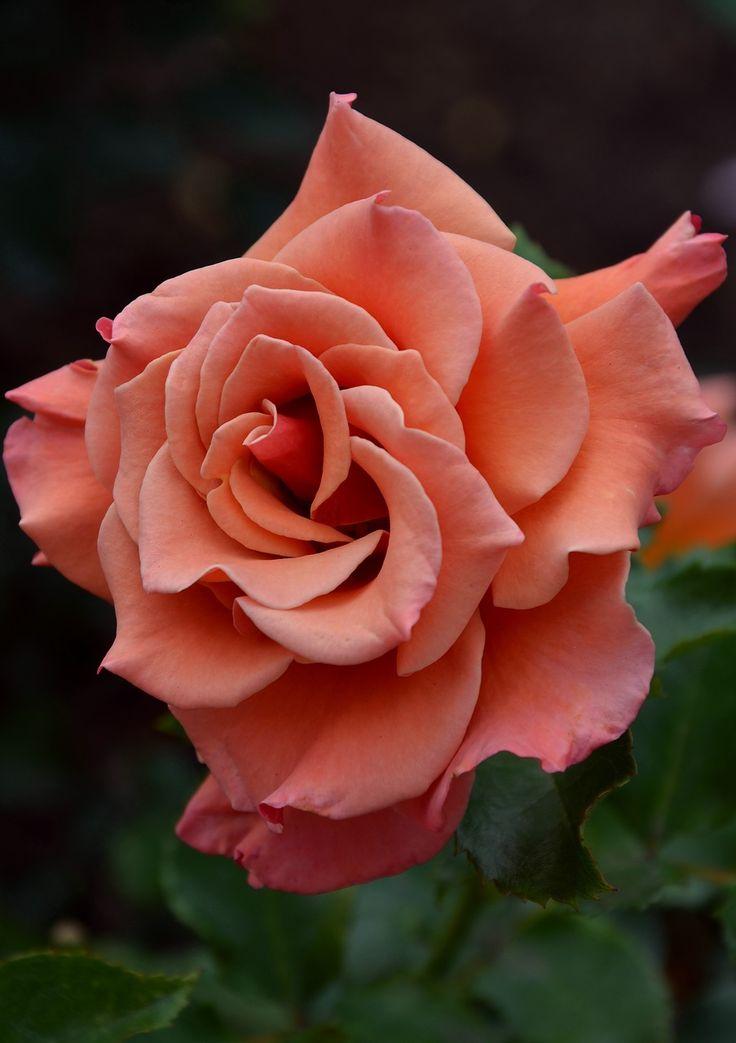 Coral Rose. http://fotki.yandex.ru/users/kits-nata/view/575687/?page=0