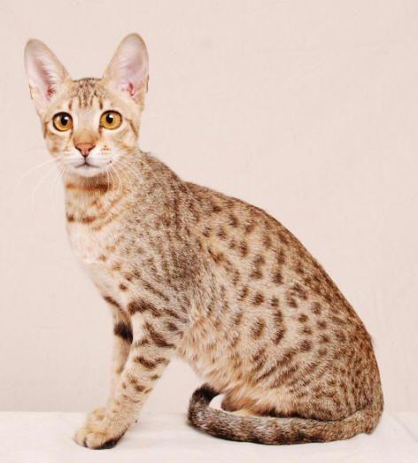 Antiallergische Katze
