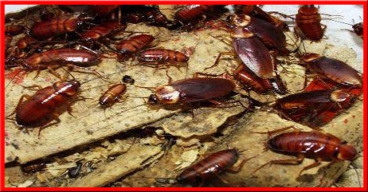 Dans nos appartements et nos maisons, il subsiste des insectes si petits de tailles que leur nuisance est titanesque ! Ils évitent la lumière de la journée et préfèrent sortir la nuit pour se nourrir. Leur endroit favori dans la maison est la cuisine, où ils trouvent de quoi se nourrir. Il s…