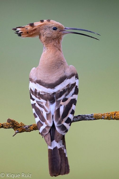 "Abubilla  The hoopoe is a colourful bird found across Afro-Eurasia, notable for its distinctive ""crown"" of feathers. It is the only extant species in the family Upupidae. Wikipedia"