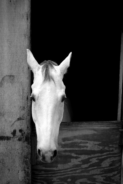 White horse #photography #photo #horse #equine #equestrian #animals #horse