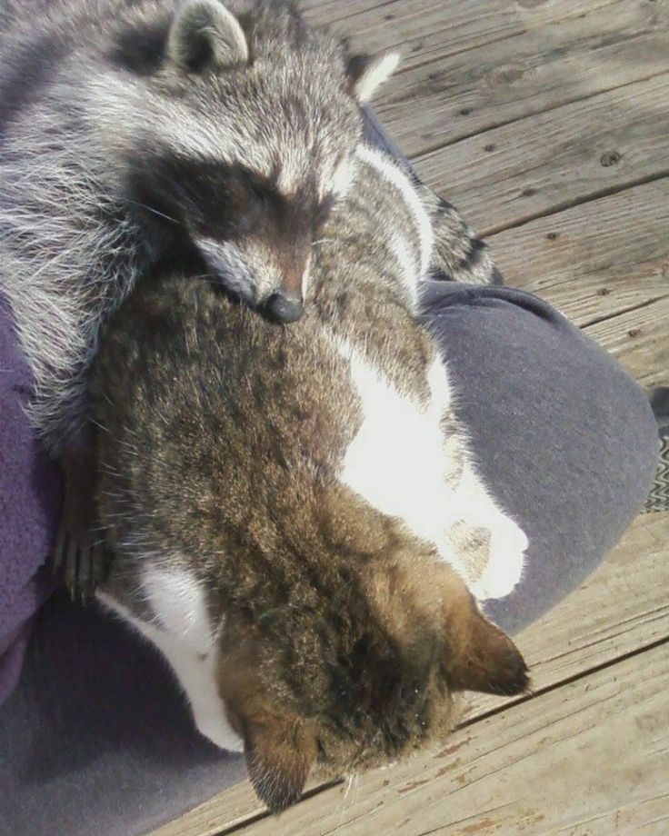 Barn Cat Helped Rescued Raccoon Get Back to the Wild Pet