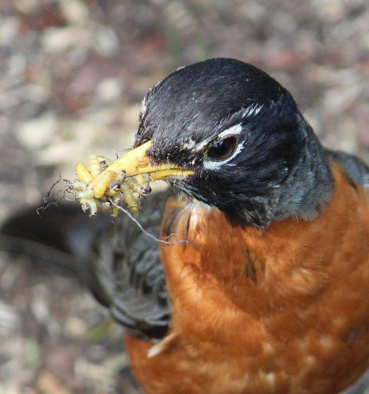115 Best Birds Seen In Michigan Images On Pinterest