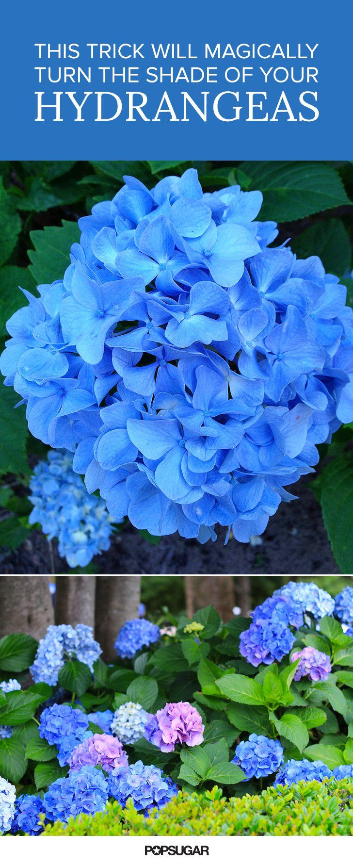 Pin for Later: This Trick Will Magically Turn the Shade of Your Hydrangeas