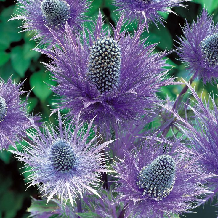 Eryngium 'Blue Steel'    Sea holly