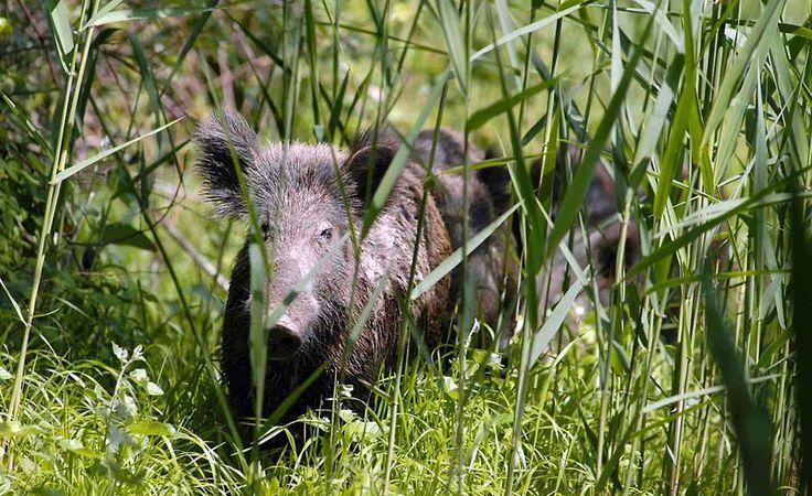 Caccia al cinghiale o caccia al lupo? – ALBERTO BALLESTRIERO