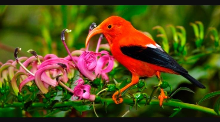 Hawaiian honeycreepers are small, passerine birds endemic to Hawaiʻi. They are closely related to the rosefinches in the genus Carpodacus. Their great morphological diversity is the result of adaptive radiation in an insular environment.  Scientific name: Drepanidinae