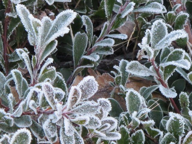 Icing leaves