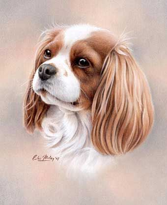 'Sandie' Cavalier King Charles Spaniel pet portrait pastel pencil drawing by Giles Illsley