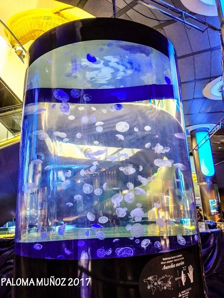 Tanque de Medusas Aurelia Aurita Aurelia Aurita Jellyfish Tank
