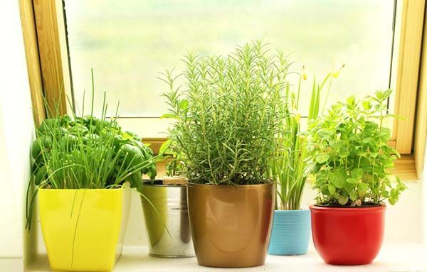 Growing Herbs By A Window Sill Growing Herbs Indoors 400 x 300