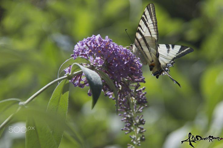 Papilio Machaon - a specimen of beautiful and colorful butterfly along the river near my village, this summer