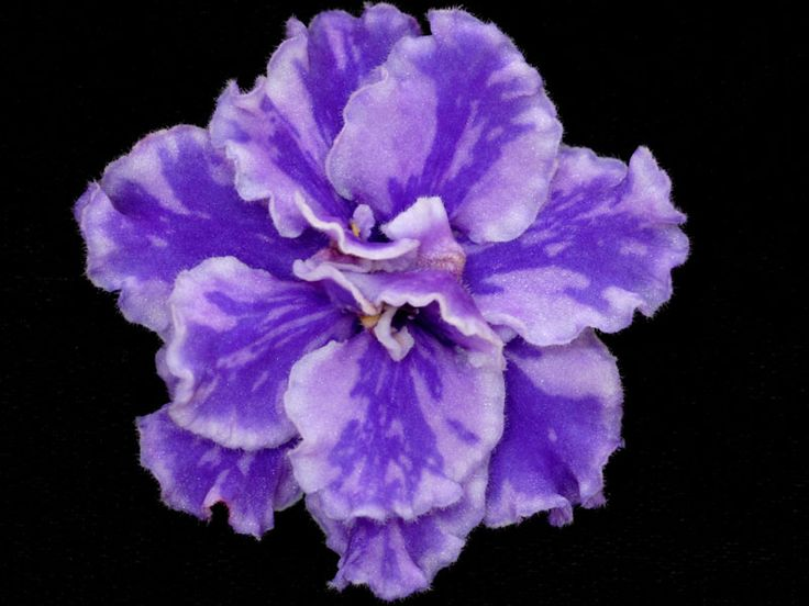 african violet CALICO QUEEN - - Yahoo Image Search Results