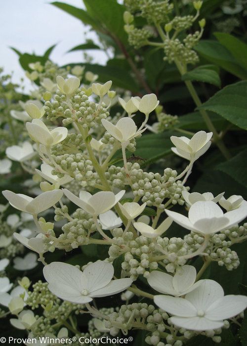 Quick Fire Hydrangea blooms mid-summer through fall, resplendent in its color-changing coat of first white, then pink, before finally deepening to a rosy-pink hue. The vibrant green of the foliage fills out the space between the blossoms, completing the ornamental picture in your landscape. #garden #spring #gardenchat #trees #flowers #gardening #plants